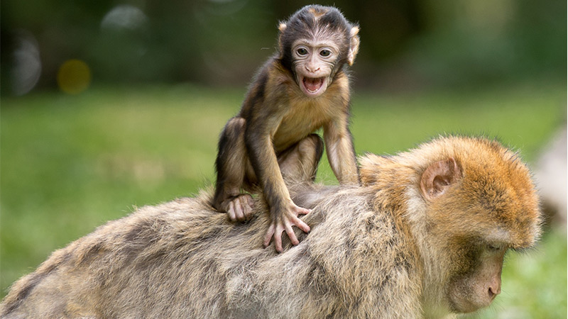 baby monkey sitting on adult monkey
